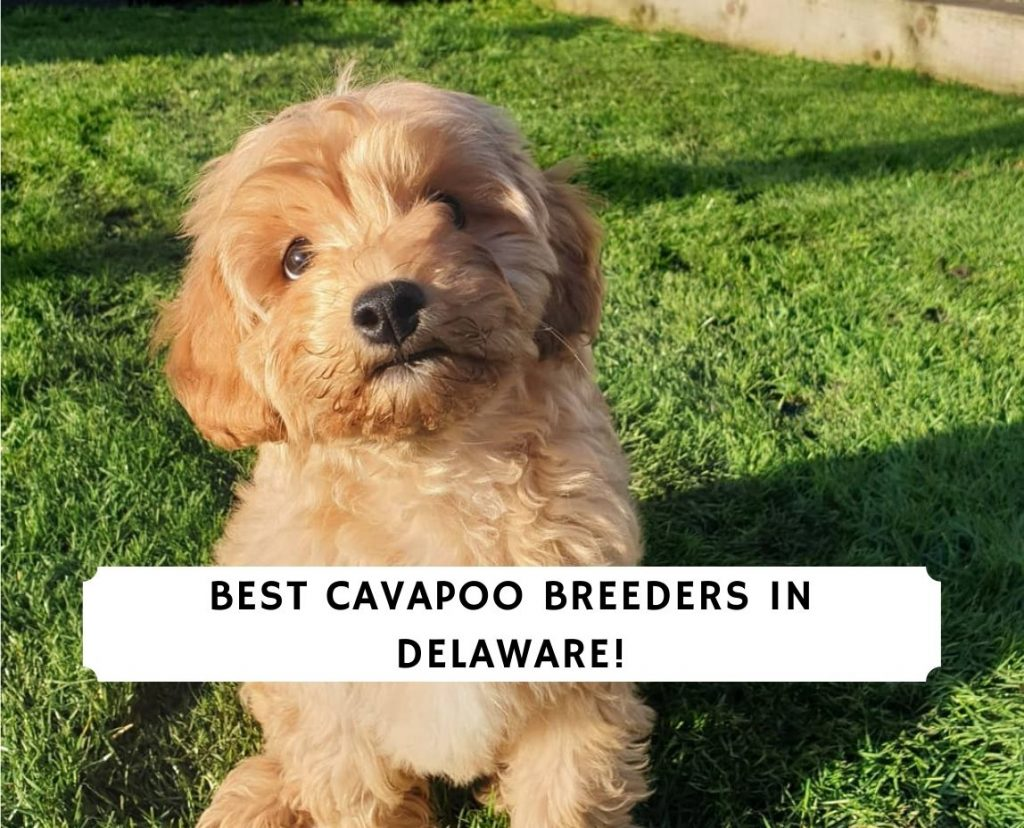 Cavapoo Breeders in Delaware