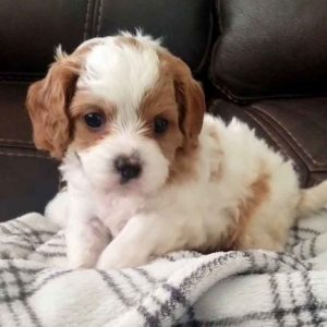 Cavapoo puppies for sale Delaware