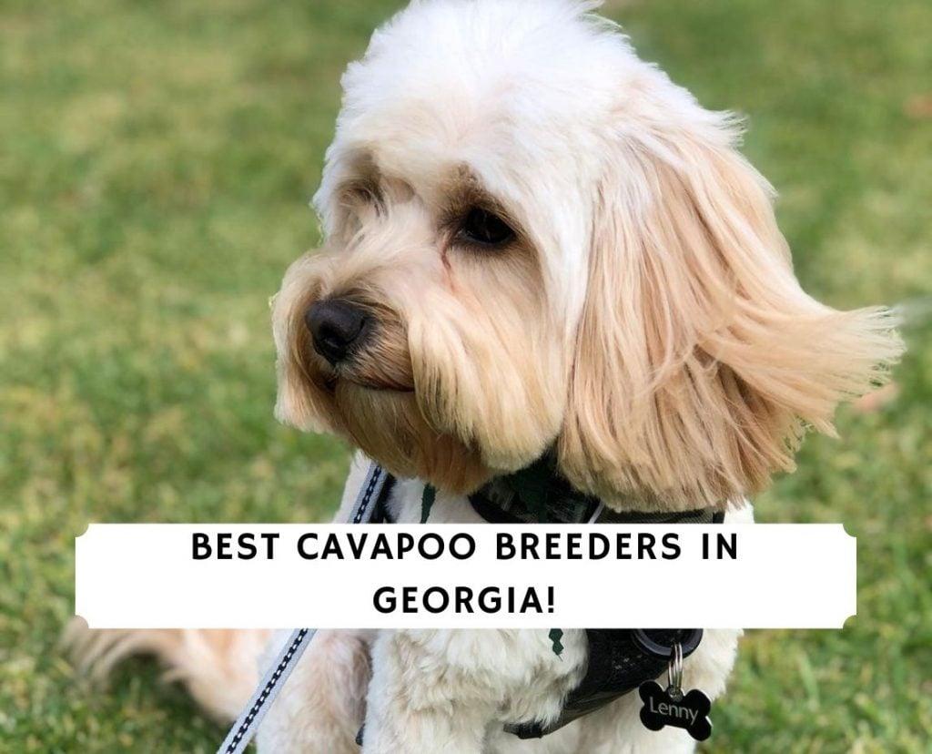 Cavapoo Breeders in Georgia