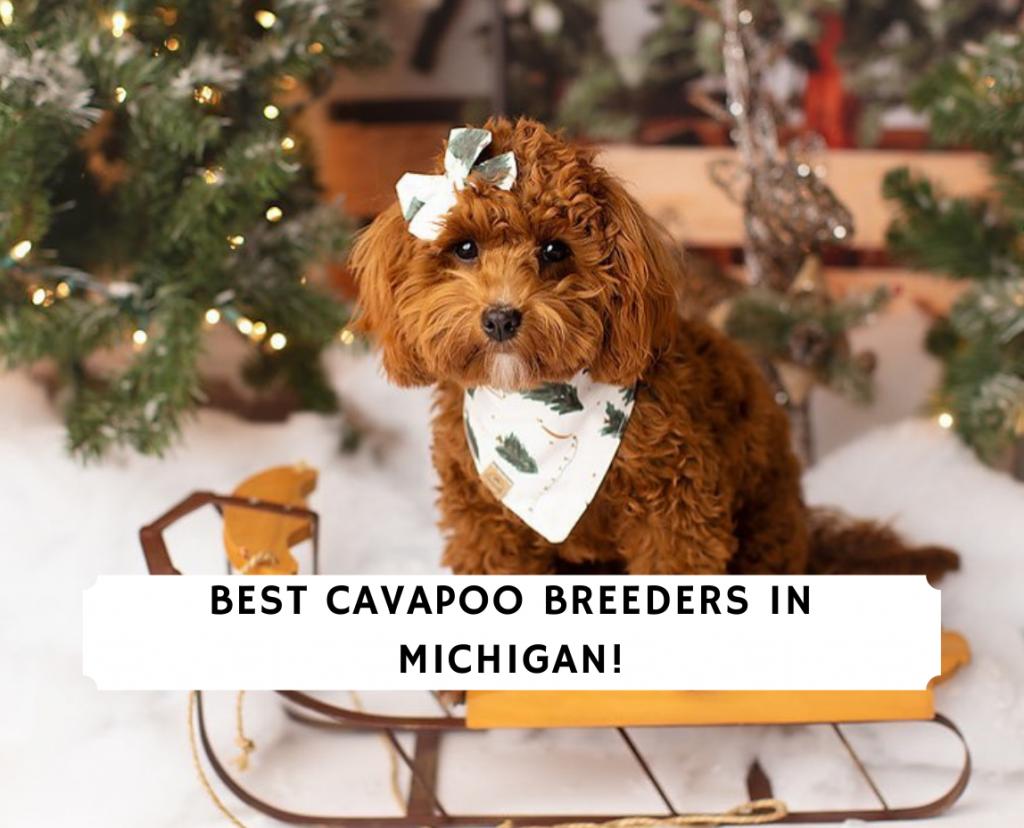 Cavapoo Breeders in Michigan