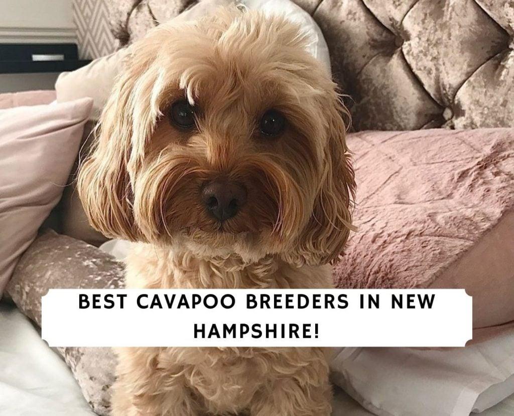 Cavapoo Breeders in New Hampshire