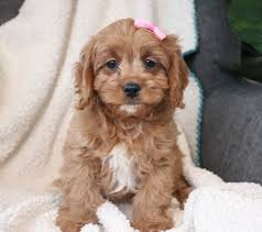 Cavapoo Breeders for sale New Hampshire