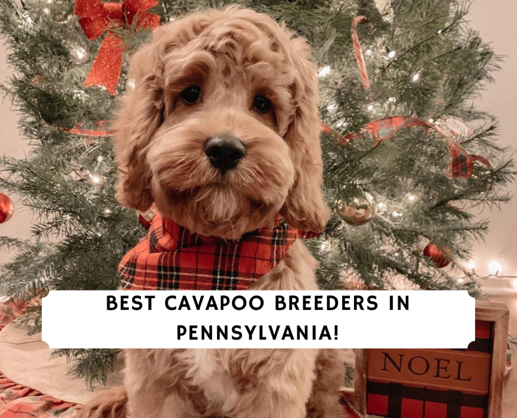 Cavapoo Breeders in Pennsylvania