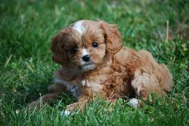 Cavapoo puppies for sale Tennessee