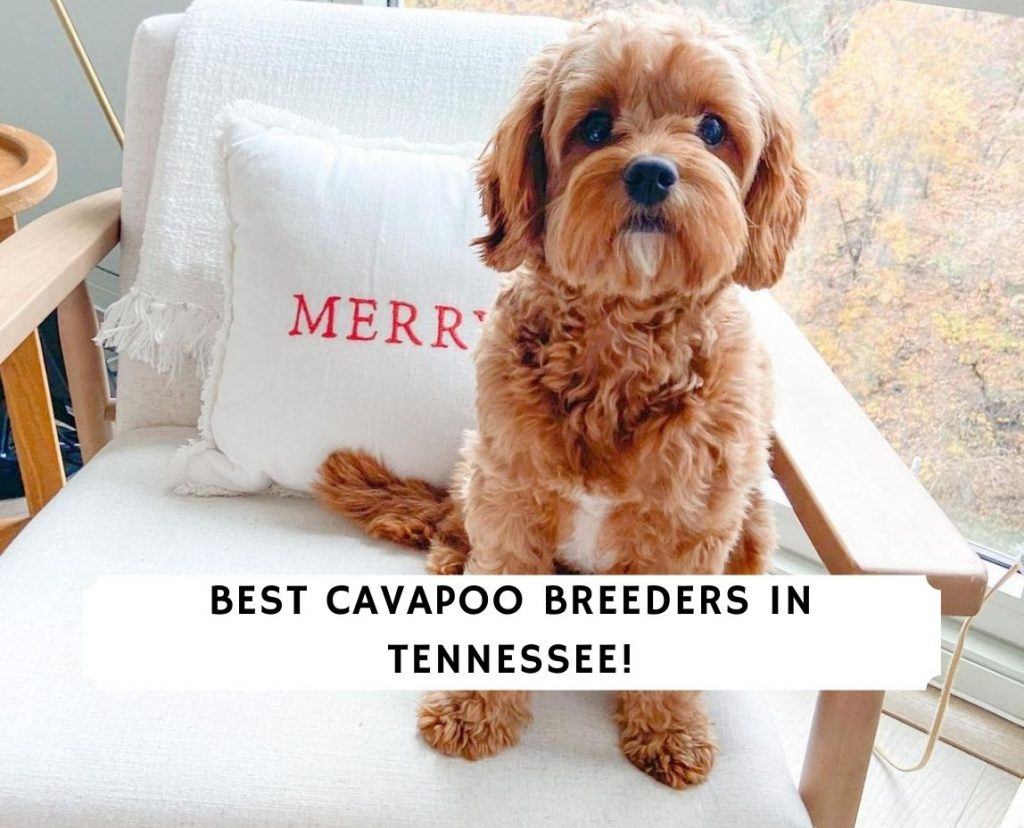 Cavapoo Breeders in Tennessee