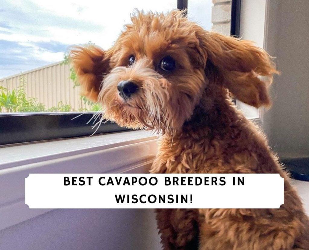 Cavapoo Breeders in Wisconsin
