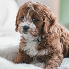 Cavapoo puppies for sale in the Midwest