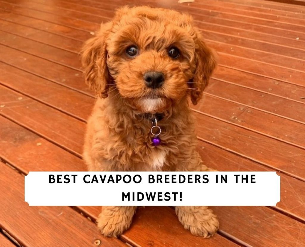 Cavapoo Breeders in the Midwest