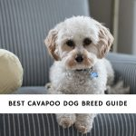 Cavapoo Dog Breed Guide