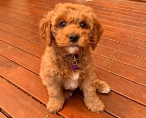 Cavapoo Puppies in the Midwest