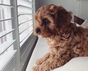 Cavapoo puppies in Connecticut