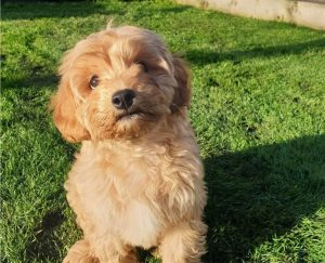 Cavapoo puppies in Delaware