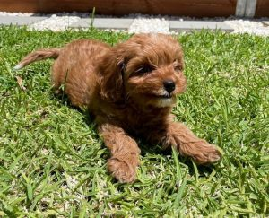 Cavapoo puppies in New England