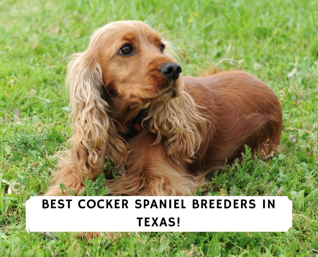 Cocker Spaniel Breeders in Texas