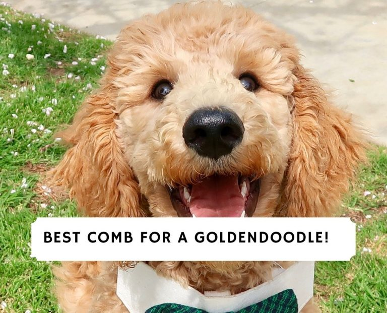 Comb for a Goldendoodle
