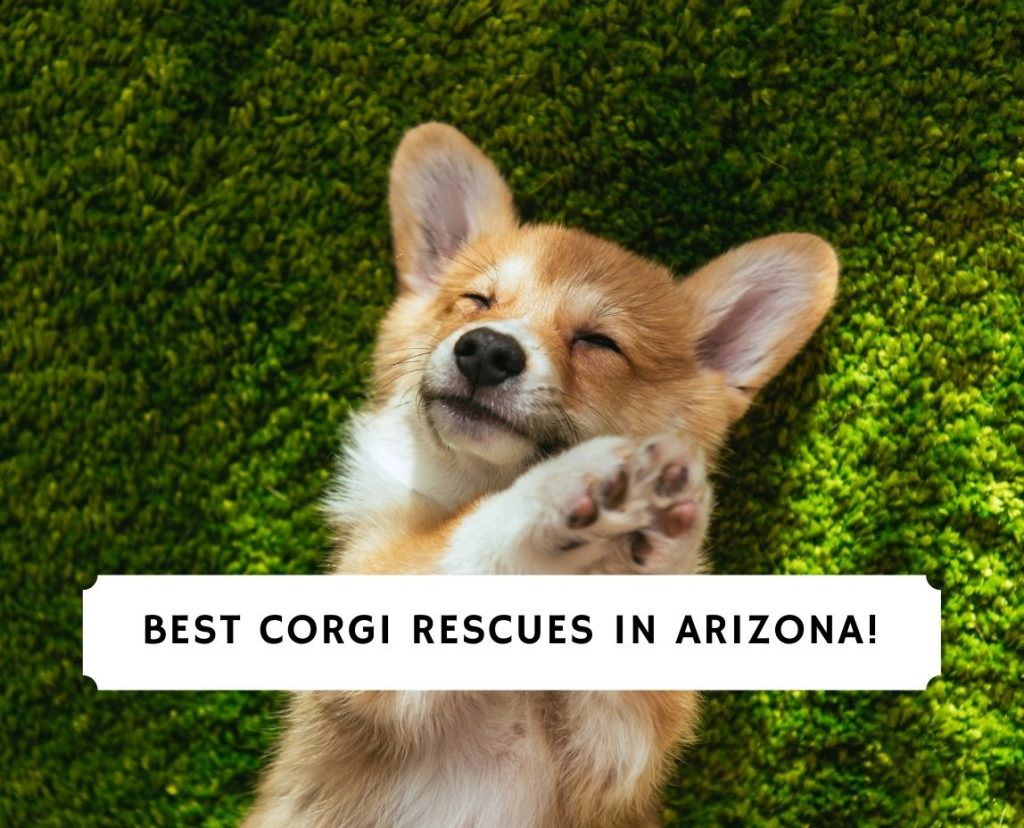 Corgi Rescues in Arizona