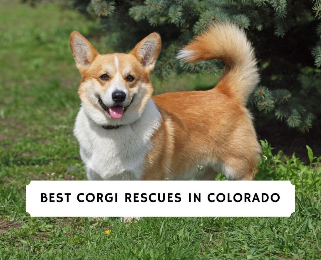 Corgi Rescues in Colorado