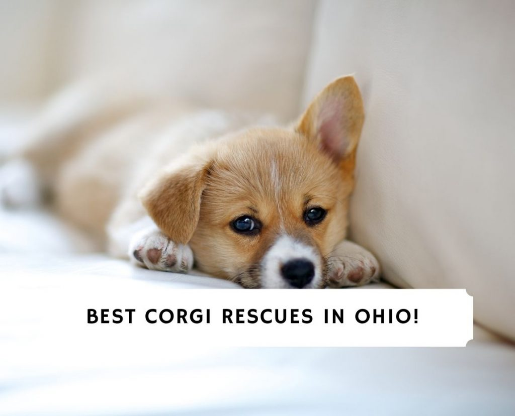 Corgi Rescues in Ohio