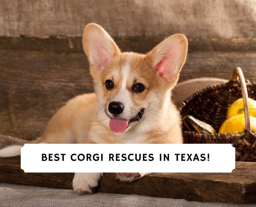 Corgi Rescues in Texas