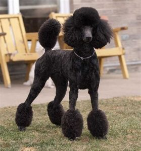 Countryside Standard Poodles