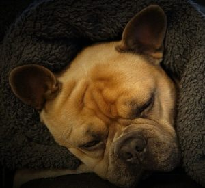 Dog Sleeping While Touching Owner Behavior