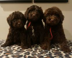 English Manor Labradoodles