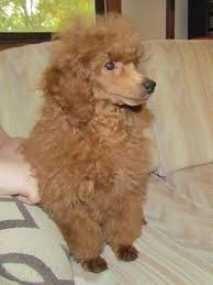 Fourpoints Poodles