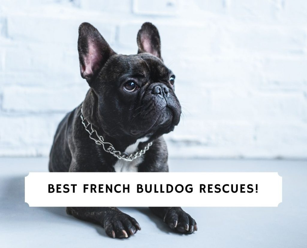 French Bulldog Rescues