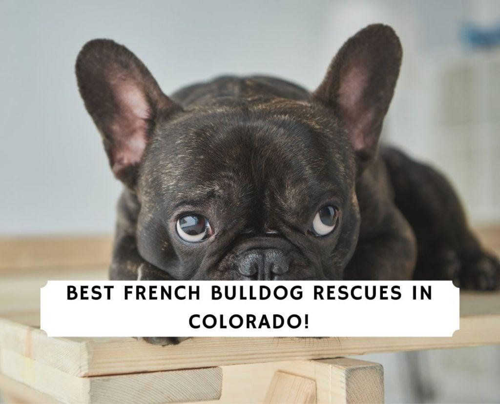 French Bulldog Rescues in Colorado