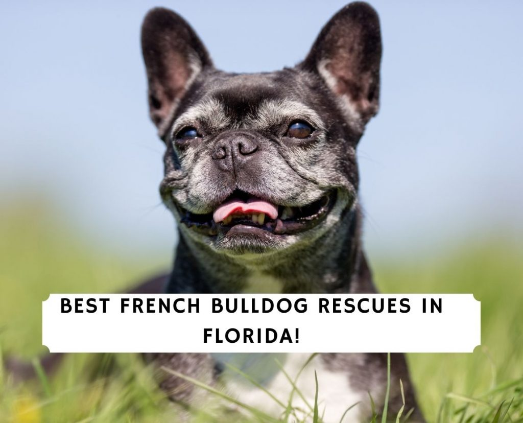 French Bulldog Rescues in Florida