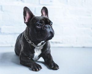French Bulldog adoptions