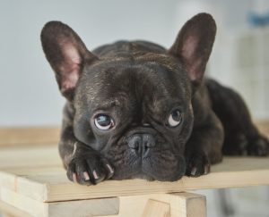 French Bulldog adoptions in Colorado