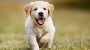 How Can CBD Oil Help Your Goldendoodle?
