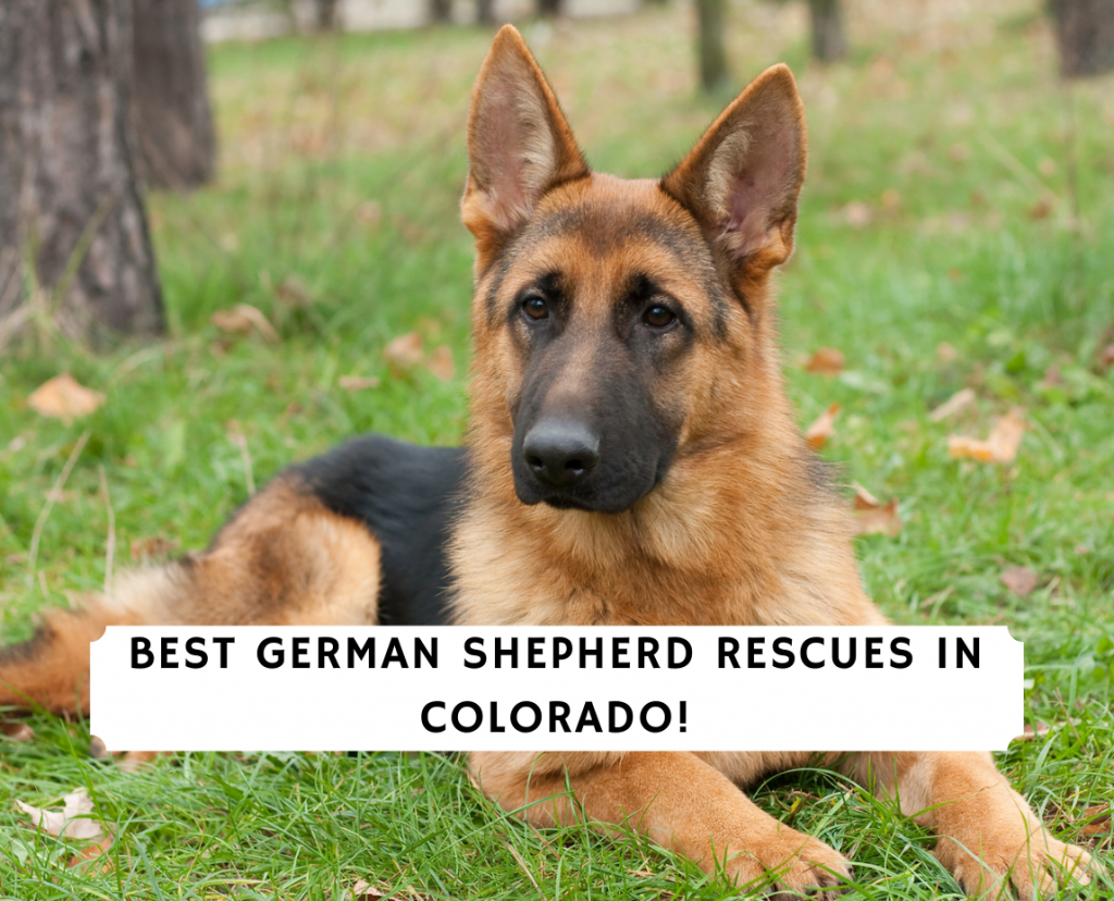 German Shepherd Rescues in Colorado
