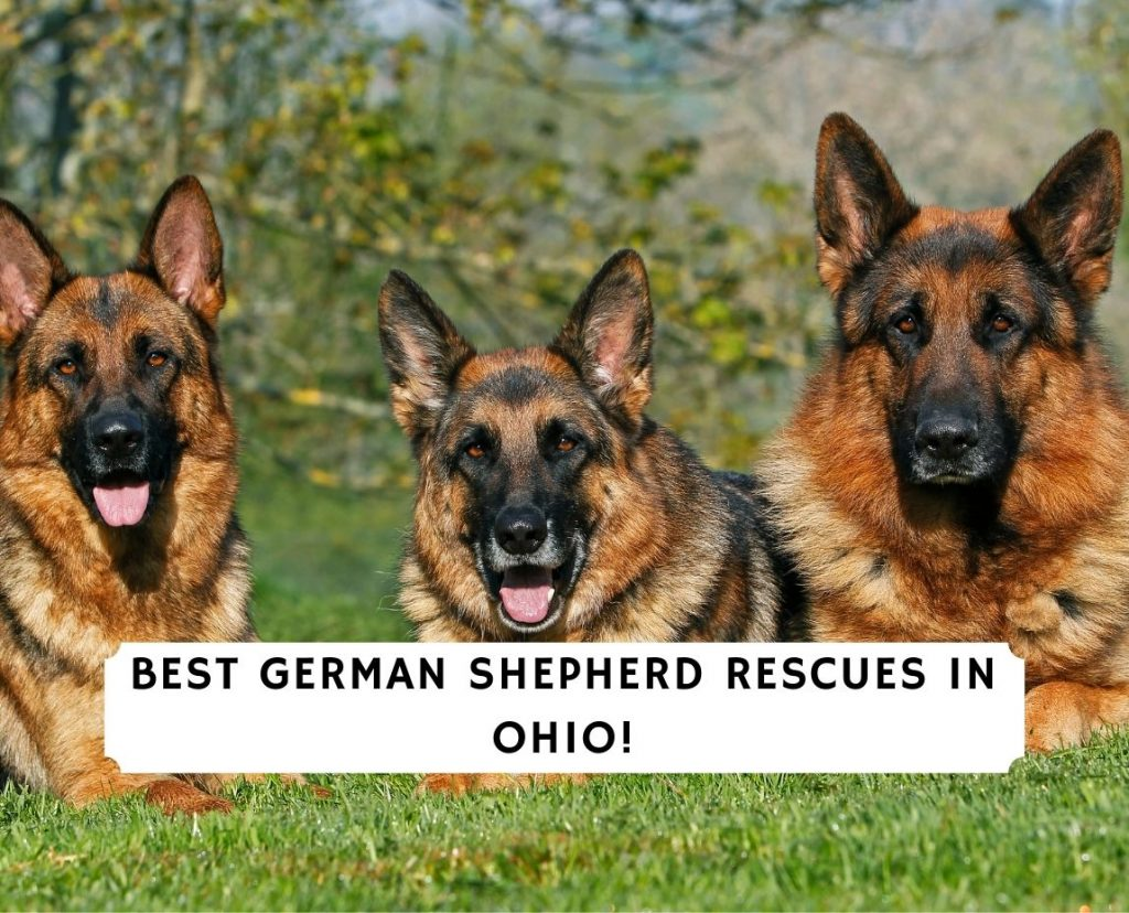 German Shepherd Rescues in Ohio