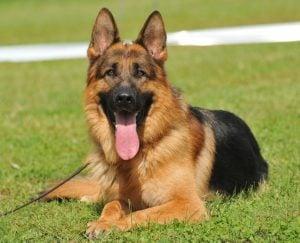 German Shepherd adoptions In California