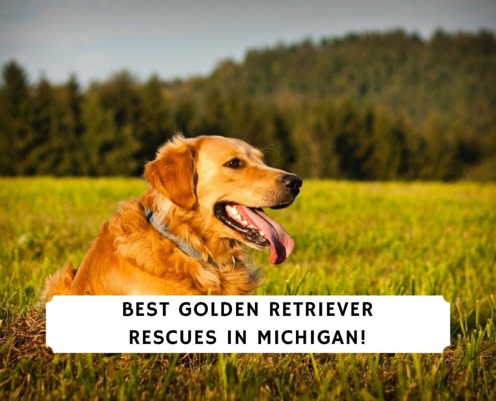 Golden Retriever Rescues in Michigan