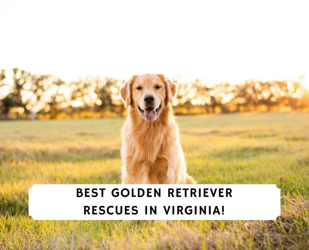 Golden Retriever Rescues in Virginia