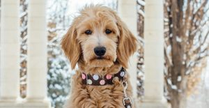 GoldenDoodle Health Issues