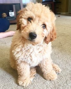 Goldendoodle Puppies for Sale in New England