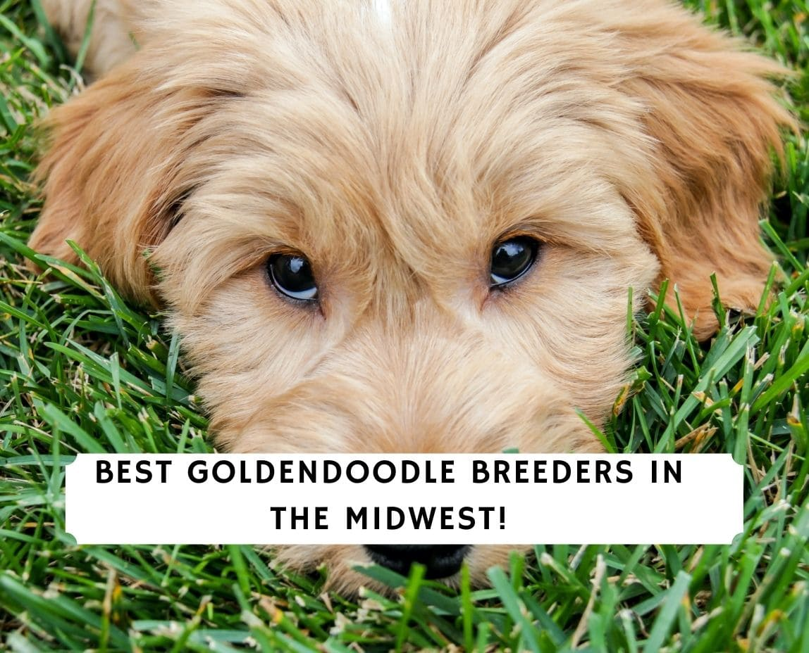 Goldendoodle Breeders in the Midwest