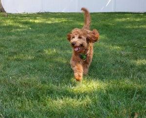 Tip for Exercising Your Hyper Goldendoodle