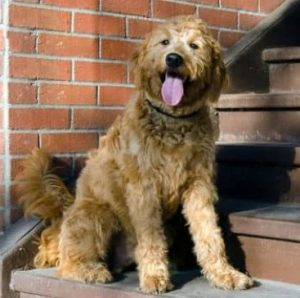 Goldendoodles Good With Kids