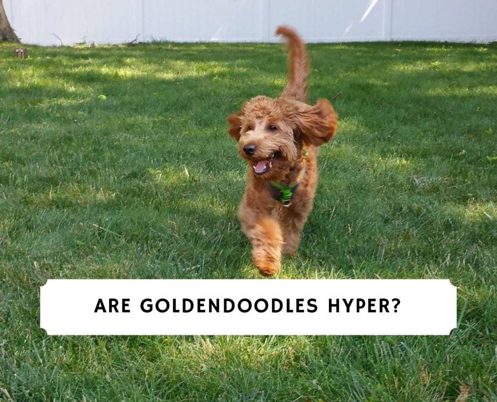 Goldendoodles Hyper