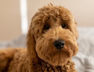 Goldendoodle's Temperament
