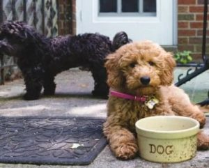 Goldendoodles With Other Dogs