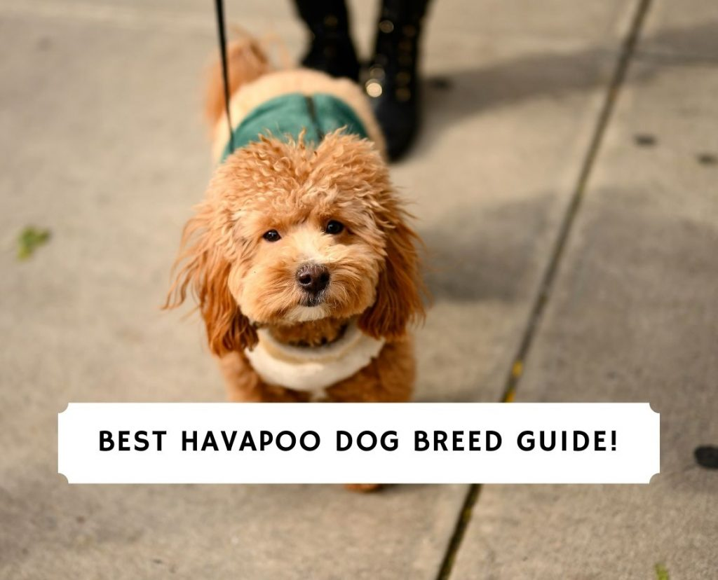 Havapoo Dog Breed Guide