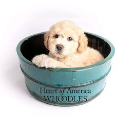 Heart of America Whoodles