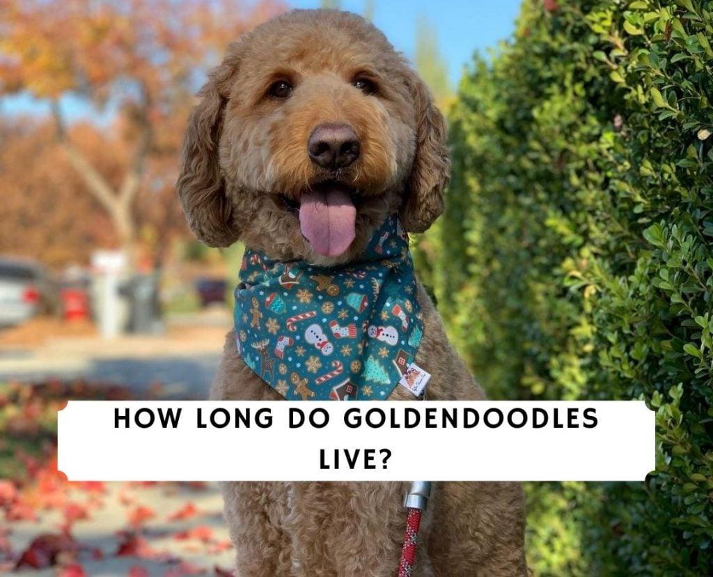 How Long Do Goldendoodles Live