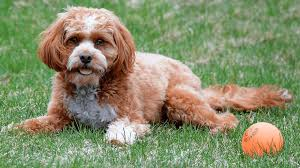 How to Choose a Cavapoo Breeder in New England